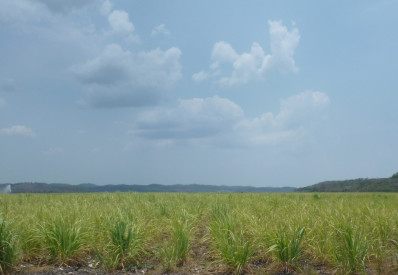 Sugarcane in Campeche, Mexico (4)